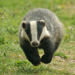 badger1